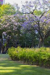 _MG_0676 (Arthur Pontes) Tags: light summer sun flower color tree verde primavera portugal nature purple lisboa natureza grama vero rua pt rvore roxo gramado campopequeno entrecampos