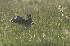 Hare in the air (Tim Melling) Tags: brown hare lepuseuropaeus shepley west yorkshire timmelling