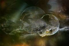 shadows (pete ware) Tags: macro photoshop insect spider leaf shadows arachnid spiderweb nik organic extensiontubes bridalwreath helios40285mmf15 nikond7000