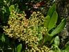 Heteromeles arbutifolia, CHRISTMAS BERRY, TOYON. (openspacer) Tags: berry shrub rosaceae heteromeles toyon jrbp jasperridgebiologicalpreserve