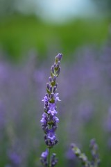 Flower of lavender in Funabashi Andersen Park 2016/06 No.2. (HIDE@Verdad) Tags: nikon 55mm fx showcase f35 micronikkor nikondf