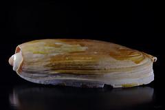 Shell II (Franco Gavioli) Tags: sea stilllife mare shell sicily augusta sicilia lightbox francesco conchiglia 2016 gavioli canonef100mmf28macrousm fragavio canoneos600d scanlio