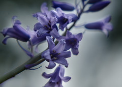 content to be itself (Noel Leone--my reality in and out of focus) Tags: blue summer closeup purple bokeh simple hyacinth softtones contenttobeitself