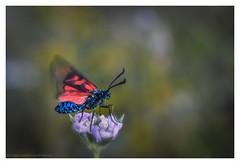 Warming up... (s1nano) Tags: red macro nature bug insect colours dof bokeh moth lepidoptera warming sixspotburnet zygaenafilipendulae nikontc200 tamron90mmspmacrof25 nikond7000 nissinmf18