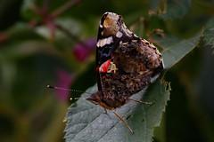 _F0A4144.jpg (Kico Lopez) Tags: rio spain galicia mariposas lugo mio vanessaatalanta lepidopteros