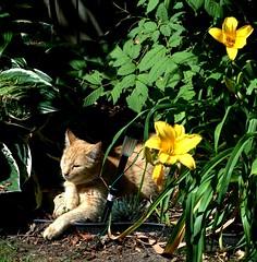 CATFLOWERS (Gary Seibert) Tags: flowers summer ontario green cat garden guelph gingercat