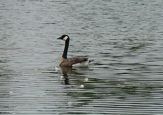 stripes (galit lub) Tags: usa chicago city    animals birds water