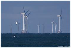 DS0D1737-Gannet-and-wind-farm (duncancooke.happydayz) Tags: gannet turbines walney irish sea birds coast wind farm birdperfect distinguishedbirds telephoto cumbria cumbrian