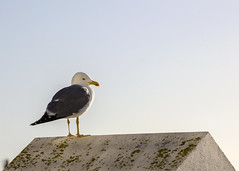 Seagull (Hans van der Boom) Tags: europe portugal algarve vacation holiday albufeira animal bird gull seagull pt