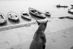 @ Ganges, Varanasi (dsaravanane) Tags: saravanan dhandapani dsaravanane yesdee yesdeephotography yesdee saravanandhandapani streetphotography life streetlife bw varanasi up india ganges lifeinganges riverganga varanasi2016 floodinganges monsoonvaranasi ricohgrii ricoh grii grii gr2 dog varanasidog