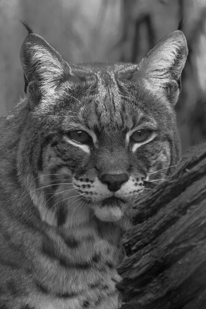 bobcat research paper The study bobcats from the southwest study area were captured and collared in   beech (fagus grandifola), yellow birch (betula allegheniensis), paper birch ( .