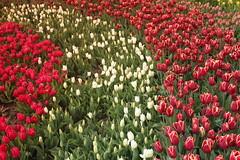 IMG_3485 (Gkmen Kmrt) Tags: flower tulip 2015 amlca laleler