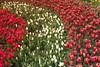 IMG_3485 (Gökmen Kımırtı) Tags: flower tulip 2015 çamlıca laleler