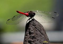 Dragon Fly (pat.bluey) Tags: dragonfly australia newsouthwales 1001nights mygarden specinsect macrosdenaturaleza 1001nightsmagiccity 1001n