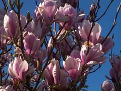 pretty pinks [explored] (carol_malky) Tags: pink flowers blue sky spring sunny magnolia explored