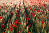 Crop(ped) picture of poppies (Ju Vachelard) Tags: flowers sunset red flower field golden countryside spring afternoon path hour poppy poppies fields late poppiesfield