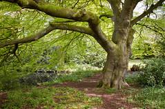 Grappenhall Heys walled garden 08 may 15 (Shaun the grime lover) Tags: tree garden spring warrington cheshire beech walled grappenhallheys