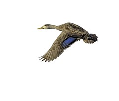 Mottled Duck (MyKeyC) Tags: bird flying duck flight ducks mottled mottledduck peacefulwaters aaacolbirds peacefulwaterssactuary