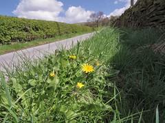 Dandelions (Blue Pelican) Tags: derbyshire lane glossop dandelions pentaxq7 08wide