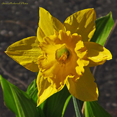 Daffodil_9669 (smack53) Tags: flowers canon newjersey spring blossoms powershot daffodils springtime westmilford sx150is smack53