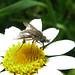 Conophorus virescens