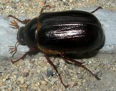 May Beetle (adamantine) Tags: scarabaeidae melolonthinae phyllophaga melolonthini
