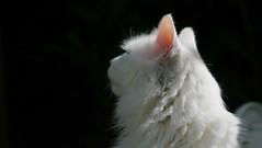 Tatty Boy (Rosie Pics.) Tags: sun white cat garden nose angora turkish furr londongarden