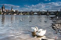 Cisnes (adrivallekas) Tags: trip travel bridge blue sky water canon river prague carlos praha praga most swans iv malostranska karluv ladscape moldava 70d