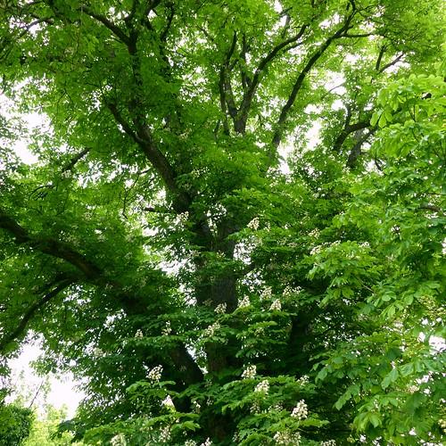 Alter Kastanienbaum im Park der evangelischen Kirche in Selzen