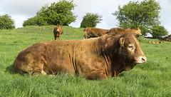 The Boss (l4ts) Tags: landscape cows derbyshire peakdistrict bull whitepeak priestcliffelees britnatparks