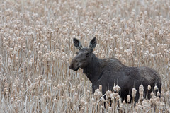 Cow Moose (Light & Shadows ( Extremely busy )) Tags: cow moose cowmoose