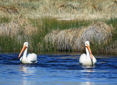 American White Pelicans (Marc Arndt) Tags: pelican americanwhitepelican owensriver