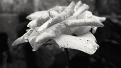 necessities (Rodrigo Alceu Dispor) Tags: bw flower macro fx necessity