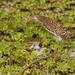 Rufescent Tiger-Heron, Tigrisoma lineatum. Juvenile