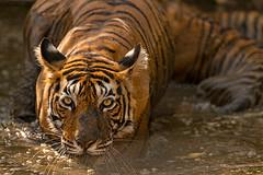 ADS_0000103231 (dickysingh) Tags: wildlife tiger tigers ranthambore indianwildlife ranthambhorenationalpark