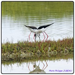 Echasses  R (philippejubeau) Tags: ocean mer reserve ile deux oiseau philippe r charente atlantique echasse jubeau