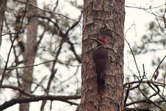 Pileated Woodpecker (Donovan Vest) Tags: bird forest canon outdoors woods woodpecker zoom sony 7 fd pileated 80200mm adg nex albinar f39