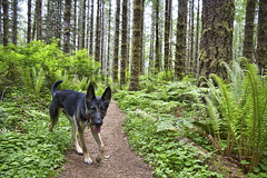 Mother's Day hike (Kevin Machtelinckx) Tags: flowers dog green oregon canon spring tillamook outdoor hiking hike adventure 7d germanshepherd mothersday gsd stateforest hikingwithdogs springhiking dogfriendlyhike coastrangehikes