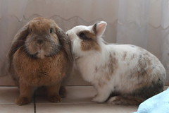 Fluffy & Cappu (peachmarine) Tags: pet rabbit bunny animal dwarf selection extra lapin lionhead lop nain belier blier slection pinou ttedelion tetedelion