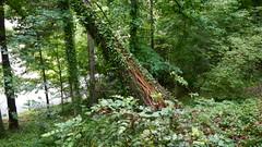 DSCN1411 (VerlynC) Tags: tree falling hickory