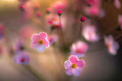 The Return of sunny Days (hploeckl) Tags: pink flowers macro spring bokeh