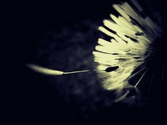 Capture the Moment (broombesoom) Tags: travel light germany deutschland licht fly seed dandalion reise fliegen lwenzahn pusteblume