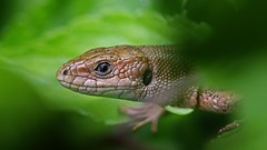 Common Lizard......Peeping out. (jaytee27) Tags: commonlizard naturethroughthelens fackenden