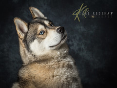 Siberian Husky With Blue Eyes (Karl Redshaw Photography) Tags: blue portrait dog cold eyes friend husky working canine sledding mansbestfriend siberian sled companion loyal bieyed electricblueeyes
