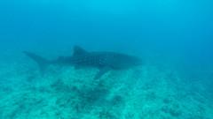 Whaleshark 1 (Aliuros) Tags: fish shark whaleshark fisk haj hvalhaj