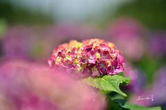 Hydrangea (Jennifer ) Tags: flower macro rain rainyday bokeh taiwan hydrangea   carlzeiss       carlzeissmakroplanarmacro100mmf2zf2 nikond4s
