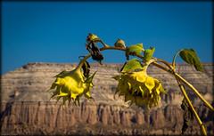 Les tournesols s`inclinent... (josboyer) Tags: flowers fleur turkey turquie sunflower tournesol cappadoce