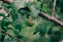 Little apple (Frostroomhead) Tags: green art apple fruit nikon f14 sigma 30mm d5200