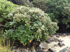 Mutton-bird scrub at Sealers Bay (dracophylla) Tags: newzealand asteraceae codfishisland muttonbirdscrub whenauhoa brachyglottisrotundifoliavarrotundifolia