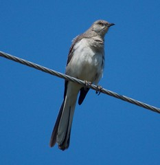 Northern Mockingbird Mimus polyglottos (King Kong 911) Tags: birds nikon cardinal finch mockingbird mocking nuthatcher d5000 tuffedtidmouse
